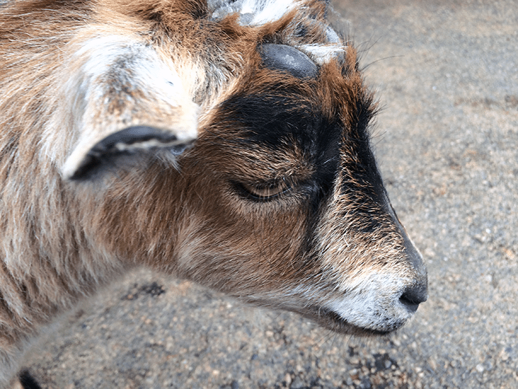 Sad Goat: Farm Babies At The Minnesota Zoo With NellieBellie
