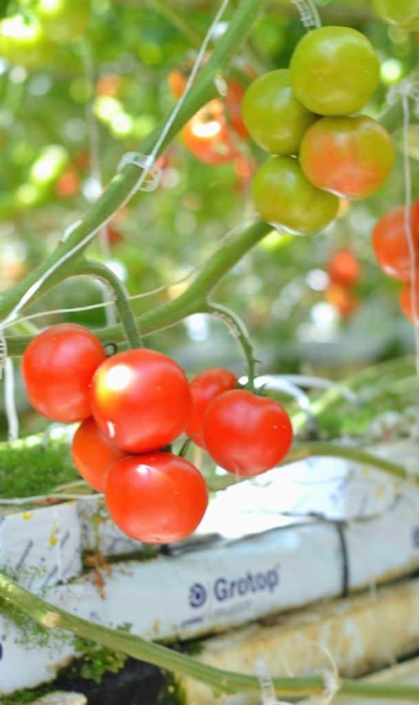 bushel boy tomatoes1