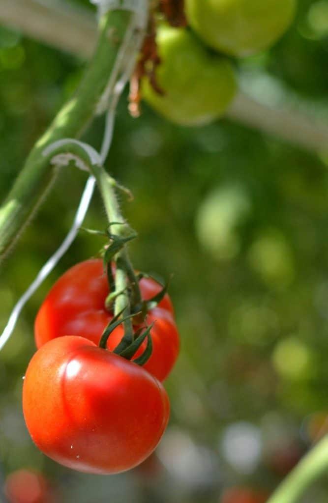 bushel boy tomatoes3